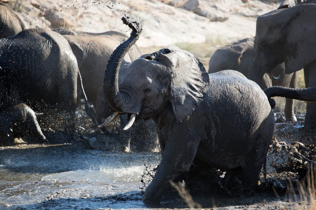baby elephant plays with its family on the VLNR